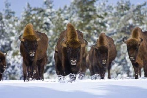 Bisons d'Europe- Bisons Lozère - Séjour famille Lozère