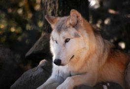 Séjour Loup Lozère - Tourisme Lozère - Parc animalier Lozère
